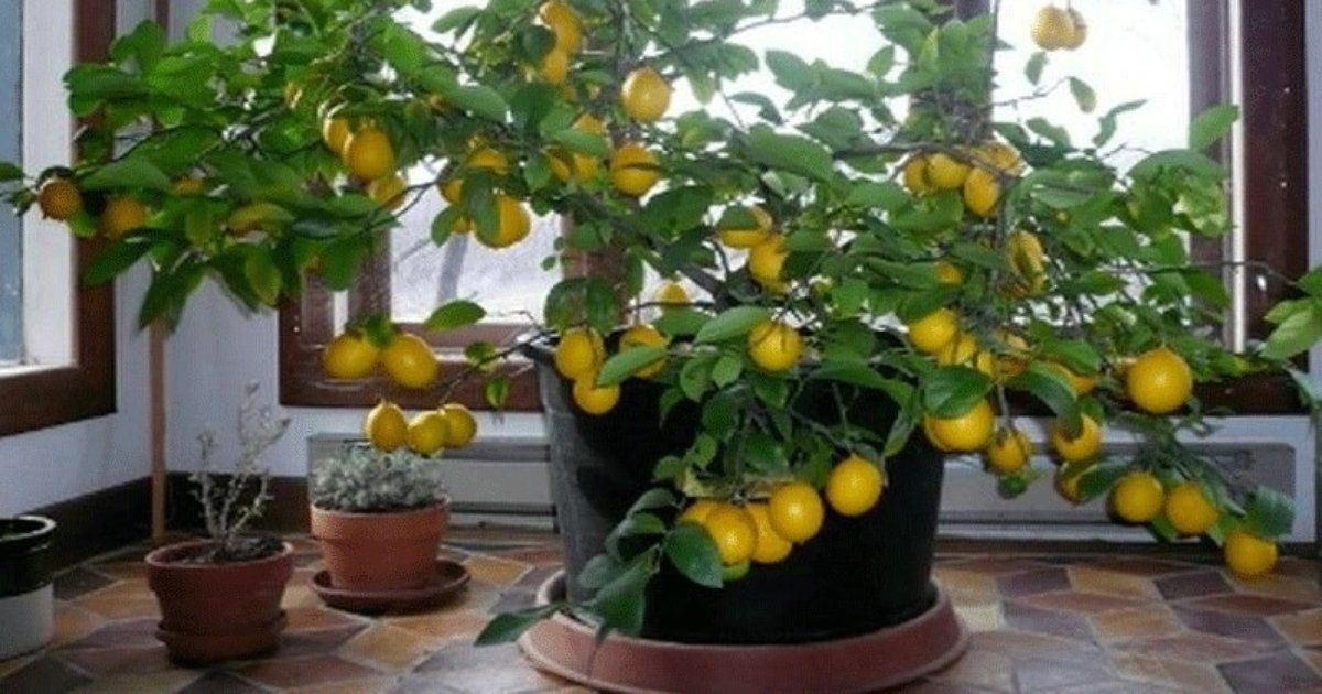 Come far crescere facilmente un albero di limoni a casa tua for Come ottenere progetti di casa tua