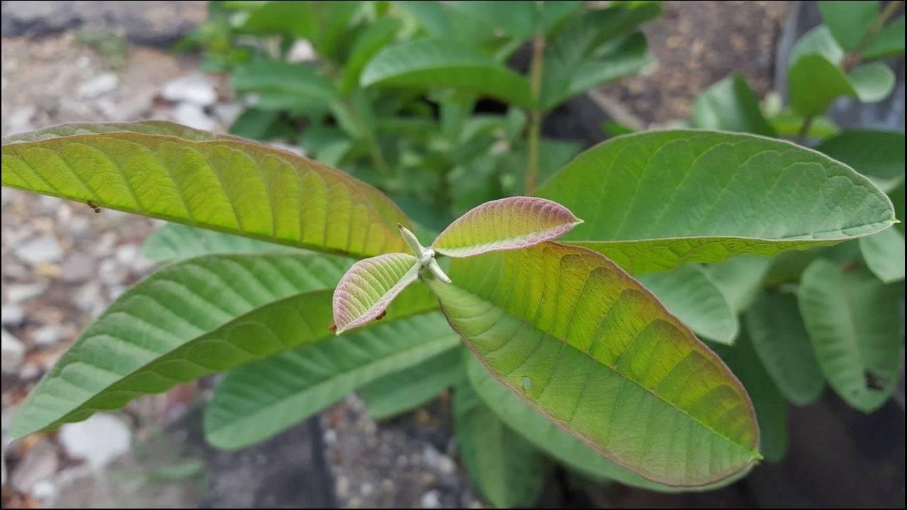 tè in foglie di guava per dimagrire